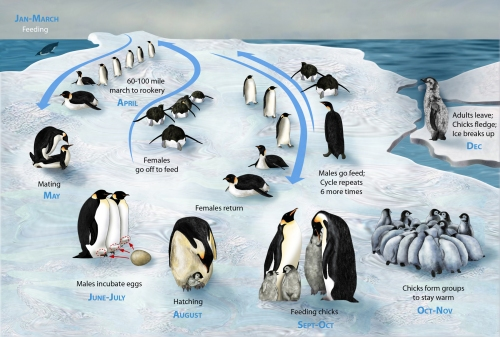 PENGUIN LIFE CYCLE LARGE IMAGE